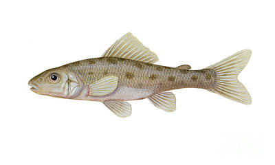 Illustration Of A Trout-perch Percopsis Poster by Carlyn Iverson