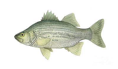 Illustration Of A White Bass Morone Poster by Carlyn Iverson