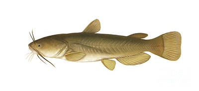 Illustration Of A Yellow Bullhead Poster by Carlyn Iverson