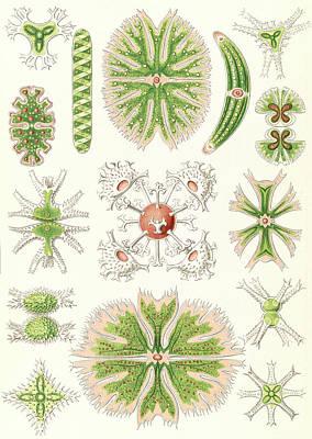 Illustration Shows Algae. Desmidiea. - Bierdinge Poster by Artokoloro