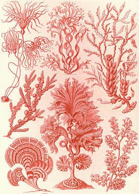 Illustration Shows Algae. Fucoideae. - Brauntange Poster by Artokoloro