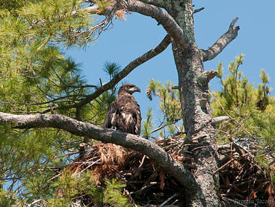 Poster featuring the photograph Immature Bald Eagle by Brenda Jacobs