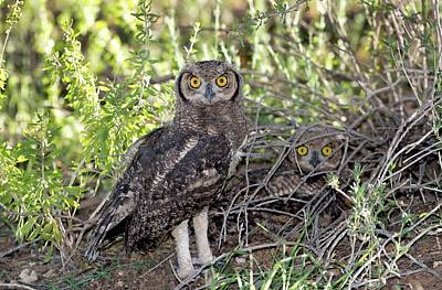 Immature Spotted Eagle Owls Poster