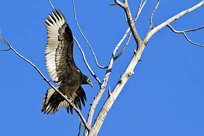 Immature Turkey Vulture Poster