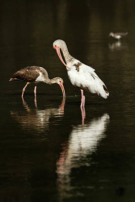 Immature White Ibis (eudocimus Albus Poster by Larry Ditto