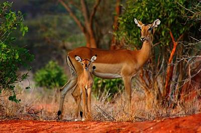 Impala And Young Poster by Amanda Stadther