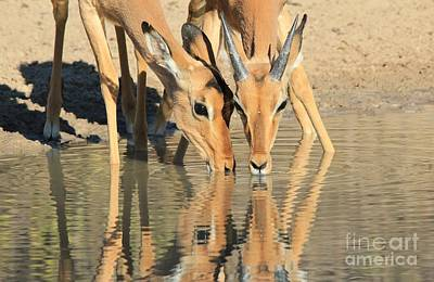 Impala Golden Reflection Poster by Hermanus A Alberts
