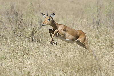 Impala Leaping Through Savanna Poster