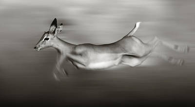 Impala Running  Poster by Johan Swanepoel