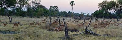 Impalas Aepyceros Melampus Running Poster by Panoramic Images