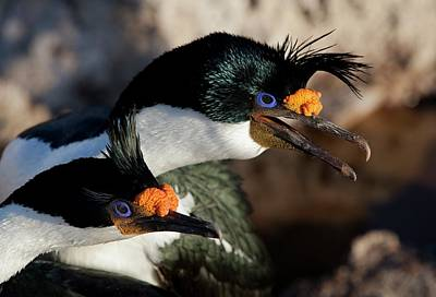 Imperial Shag Pair In Breeding Colours Poster