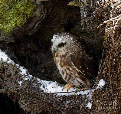 In Hiding Saw Whet Owl In A Hollow Stump Is Part Of The Birds Of Prey Fine Art Raptor Wildlife Photo Poster by Inspired Nature Photography Fine Art Photography