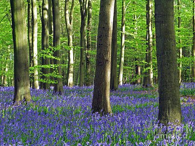 In The Heart Of The Bluebell Woods Poster by Elizabeth Debenham