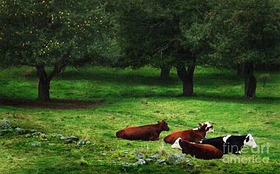 In The Orchard Cows Are Resting Poster by Joy Nichols