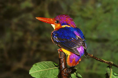 India Three Toed Kingfisher Poster