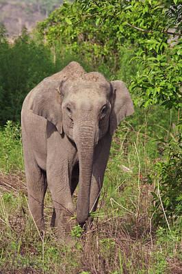 Indian Asian Elephant, Corbett National Poster by Jagdeep Rajput