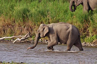 Indian Asian Elephant, Crossing Poster by Jagdeep Rajput