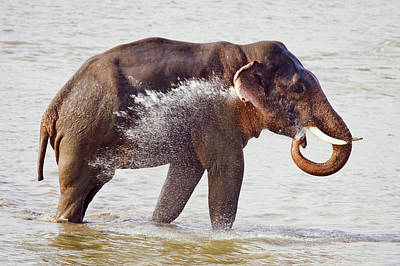 Indian Asian Elephant In The River Poster by Jagdeep Rajput