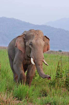 Indian Asian Elephant, Male Poster by Jagdeep Rajput