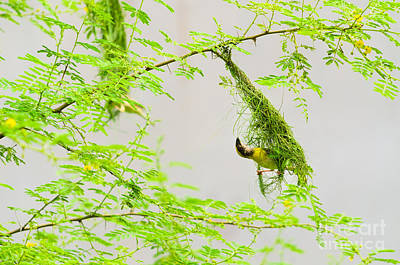 Indian Baya Or Black Chinned Weaver Bird Or Ploceus Nigrimentus Making Nest Poster by Image World