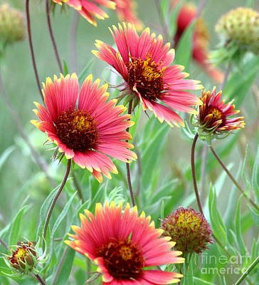 Indian Blanket Wildflowers Poster by Robert Frederick