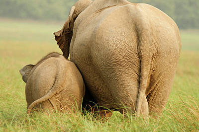 Indian Elephant And Young,corbett Poster by Jagdeep Rajput