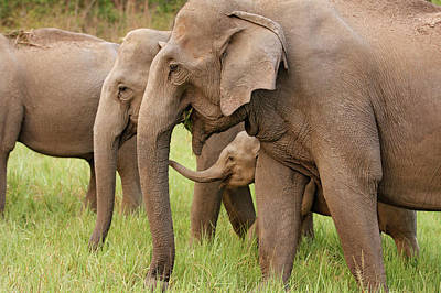 Indian Elephant Calf Playing Poster by Jagdeep Rajput