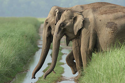 Indian Elephants Crossing The Track Poster by Jagdeep Rajput