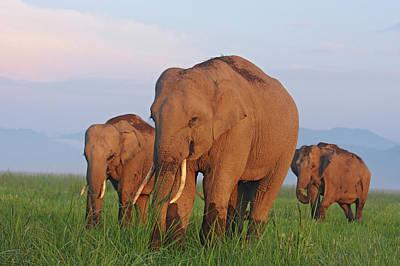 Indian Elephants Poster