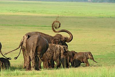 Indian Elephants Mud Bathing,corbett Poster by Jagdeep Rajput