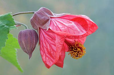Indian Mallow Flower Poster