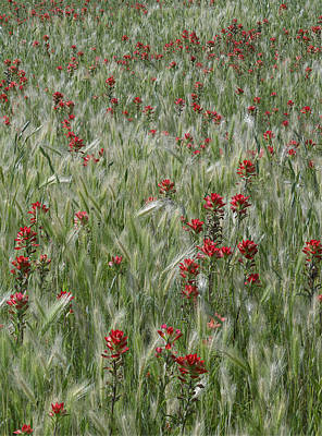 Indian Paintbrush And Foxtail Barley Poster by Tim Fitzharris
