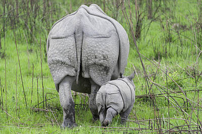 Indian Rhinoceros And Week Old Calf Poster