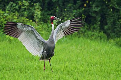 Indian Saras Crane, Stretching Wings Poster