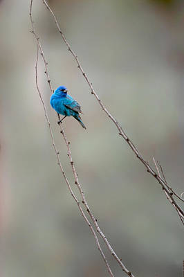 Indigo Bunting Poster by Bill Wakeley