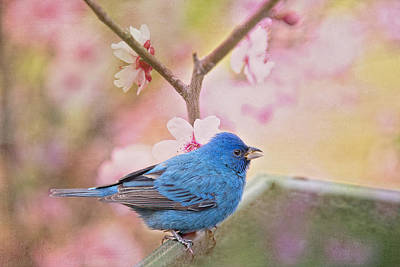Indigo Bunting In Spring Poster by Bonnie Barry