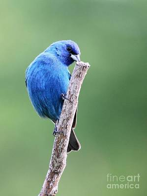 Poster featuring the photograph Indigo Bunting by Jack R Brock