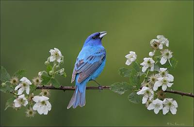 Indigo Bunting On Berry Blossoms Poster by Daniel Behm