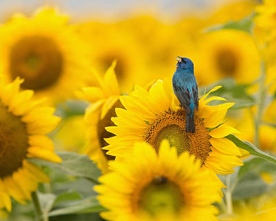 Indigo Bunting On Sunflower Poster