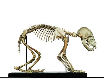 Infant Bear Skeleton Poster by Ucl, Grant Museum Of Zoology