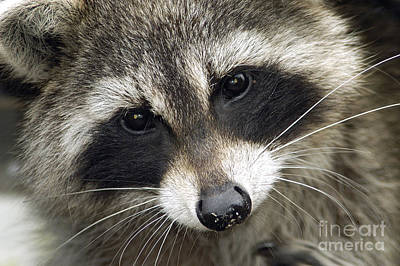 Inquisitive Raccoon Poster