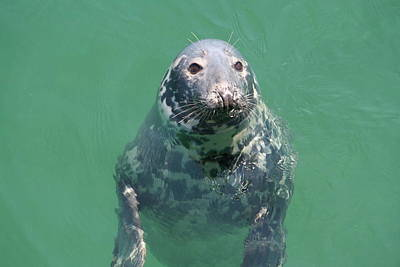 Inquisitive Seal Poster by Jim Gillen