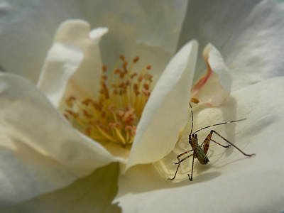 Insect On A Soft Rose Poster by MM Anderson