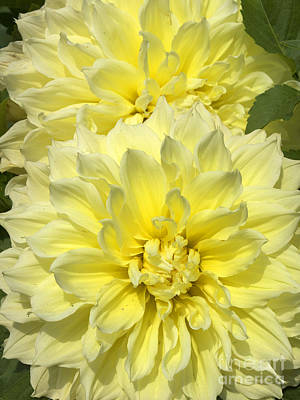 Intense Yellow Dahlias Poster
