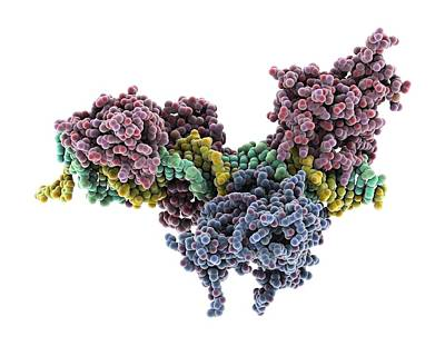 Interferon-dna Transcription Complex Poster by Science Photo Library