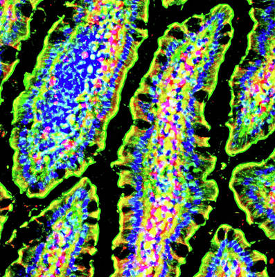 Intestinal Goblet Cells Poster by R. Bick, B. Poindexter, Ut Medical School