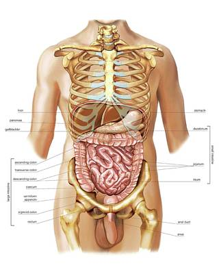 Intestines Poster by Asklepios Medical Atlas
