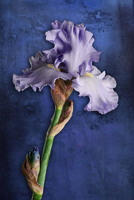 Poster featuring the photograph Iris Art Lavender And Blue by Bob Coates