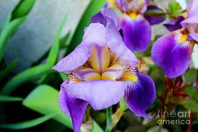 Iris From The Garden Poster