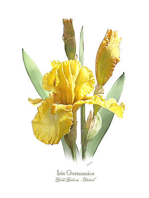 Iris Germanica Gold Galore Poster